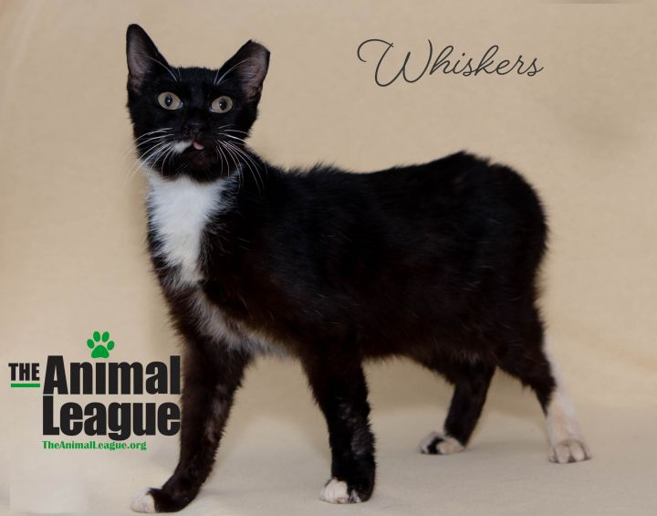 Whiskers, an adoptable Domestic Short Hair Mix in Clermont, FL_image-3