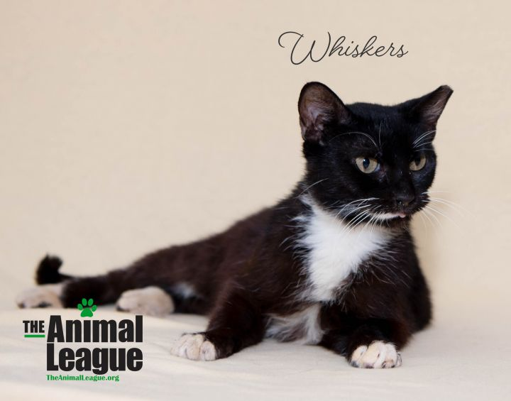 Whiskers, an adoptable Domestic Short Hair Mix in Clermont, FL_image-4