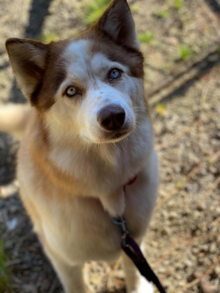 Rosa, an adoptable Husky & Alaskan Malamute Mix in Portland, OR_image-1