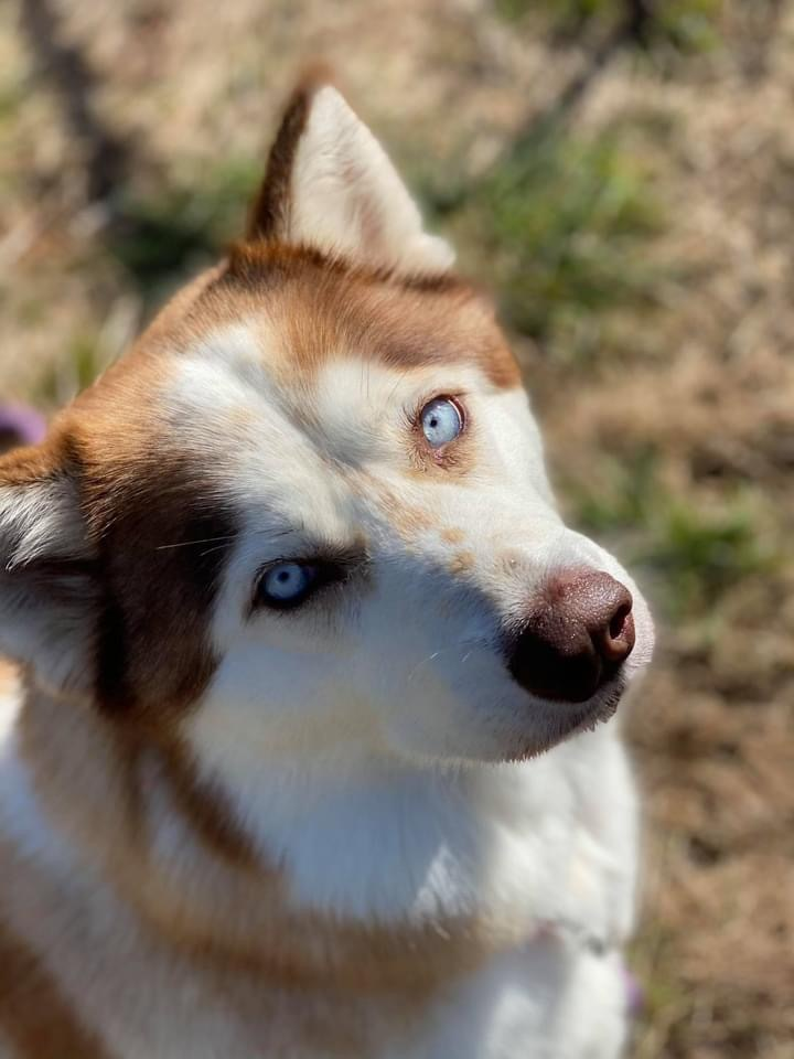 Rosa, an adoptable Husky & Alaskan Malamute Mix in Portland, OR_image-2