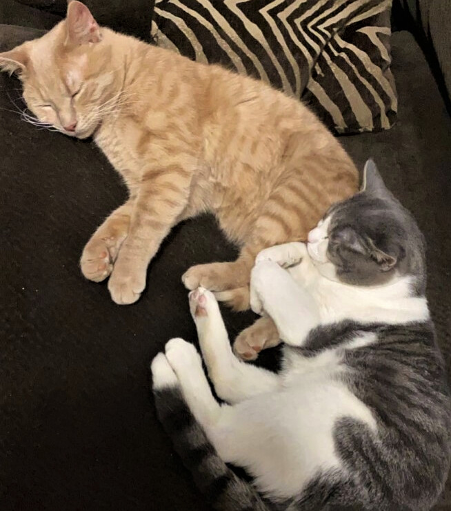 Cinnamon and Jasper, an adoptable Domestic Short Hair in Breinigsville, PA_image-1