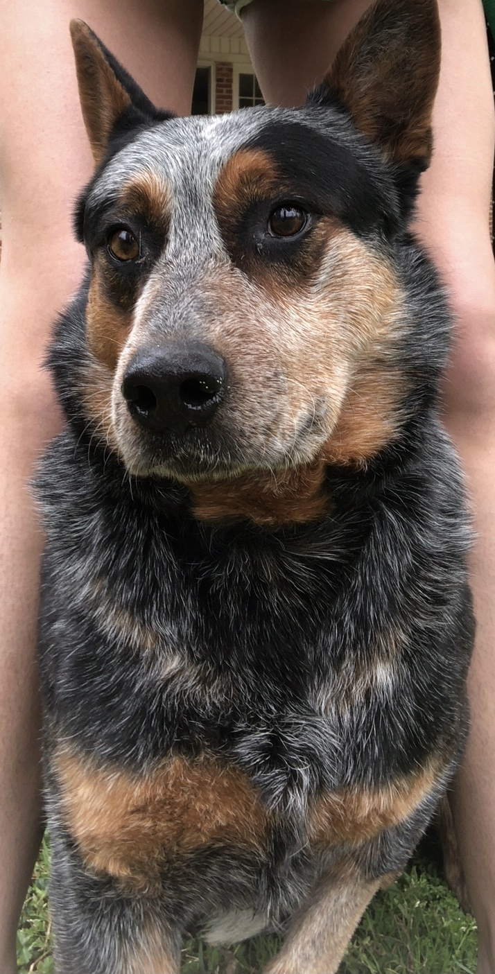 River, an adopted Australian Cattle Dog / Blue Heeler in Greenville, SC_image-1