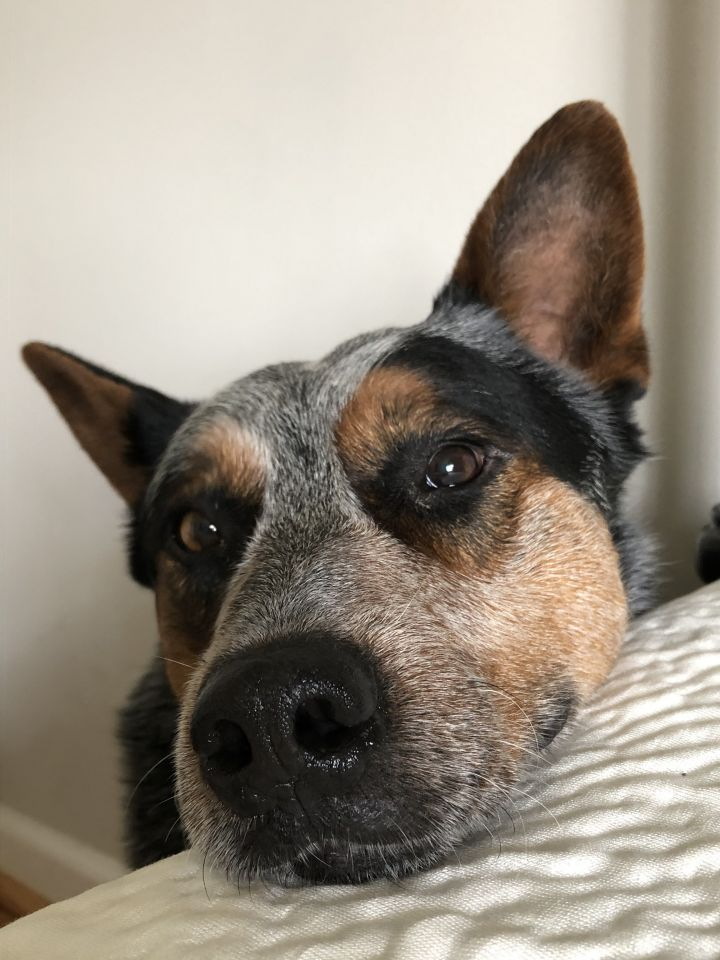 River, an adopted Australian Cattle Dog / Blue Heeler in Greenville, SC_image-4