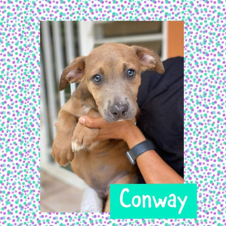 Conway, an adoptable Labrador Retriever in Patterson, NY_image-1