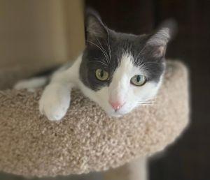 Salt Domestic Short Hair Cat