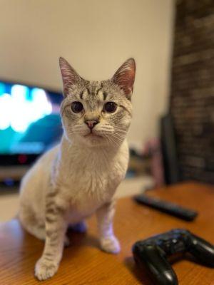 Antonio Siamese Cat