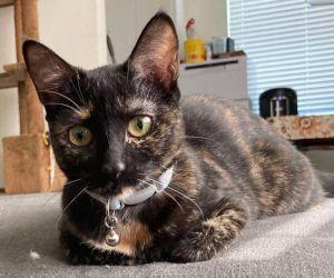Lapis Lazuli (bonded to Minnie) Domestic Short Hair Cat