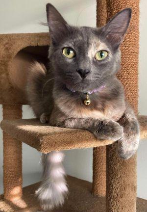 Minnie (bonded to Lapis Lazuli) Domestic Medium Hair Cat