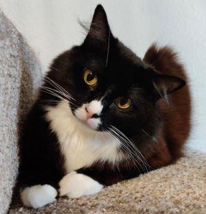 Marli Domestic Long Hair Cat