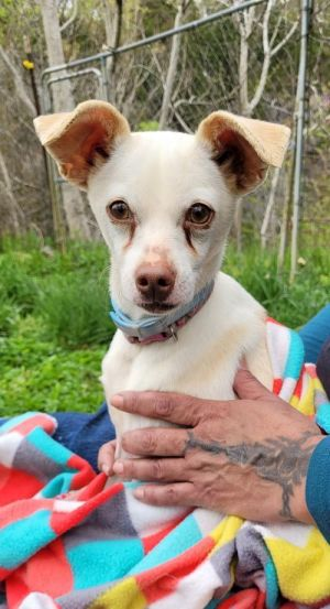 Aster Grace Female 2 12 year old Jack Russel Chihuahua mix Aster has a sad story This young girl h