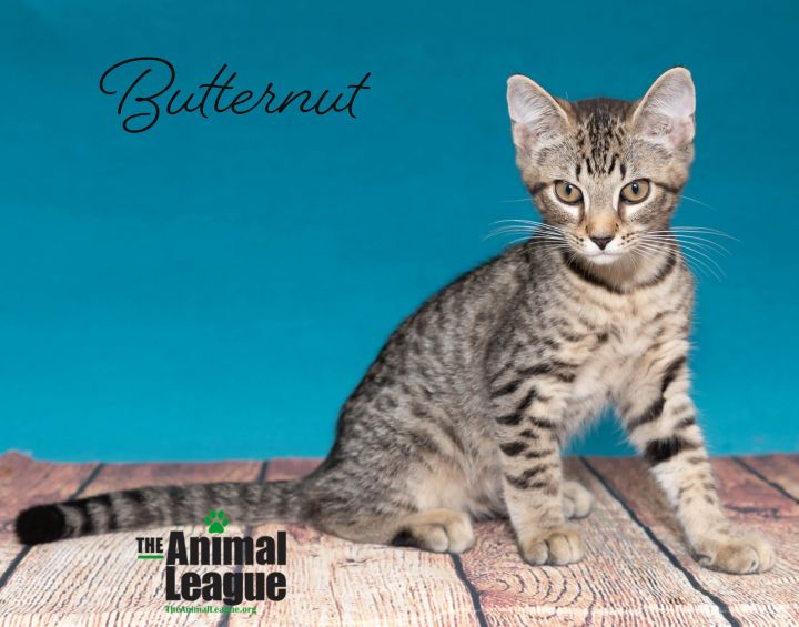 Butternut, an adoptable Domestic Short Hair Mix in Clermont, FL_image-1