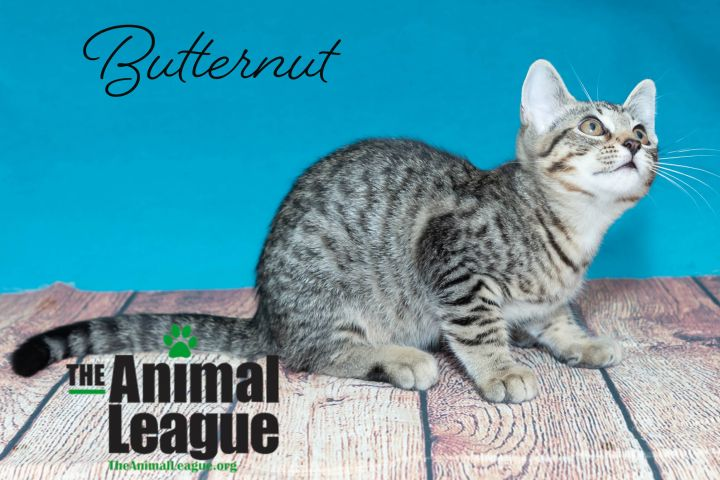 Butternut, an adoptable Domestic Short Hair Mix in Clermont, FL_image-3
