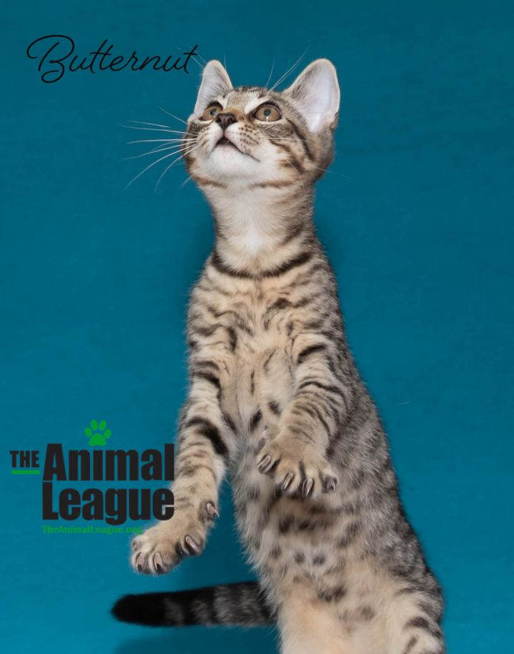 Butternut, an adoptable Domestic Short Hair Mix in Clermont, FL_image-4