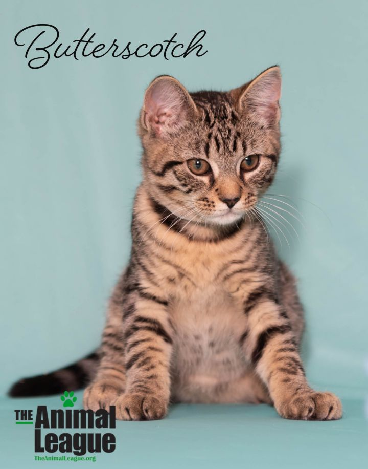 Butterscotch, an adoptable Domestic Short Hair Mix in Clermont, FL_image-2