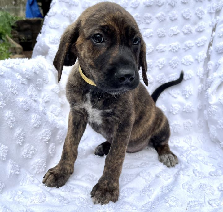 Dottie, an adopted Labrador Retriever & Plott Hound Mix in Blue Ridge, GA_image-1