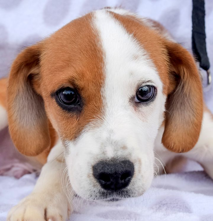 Horatio-4/24/21, an adopted Hound Mix in Lambertville, NJ_image-1