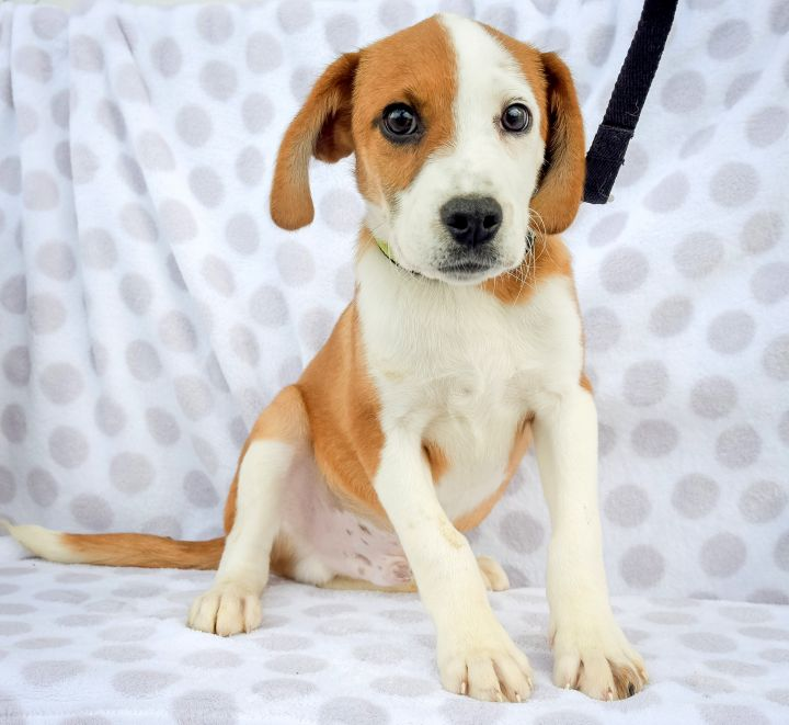 Horatio-4/24/21, an adopted Hound Mix in Lambertville, NJ_image-2