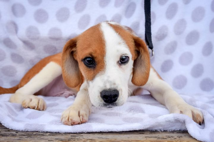 Horatio-4/24/21, an adopted Hound Mix in Lambertville, NJ_image-3