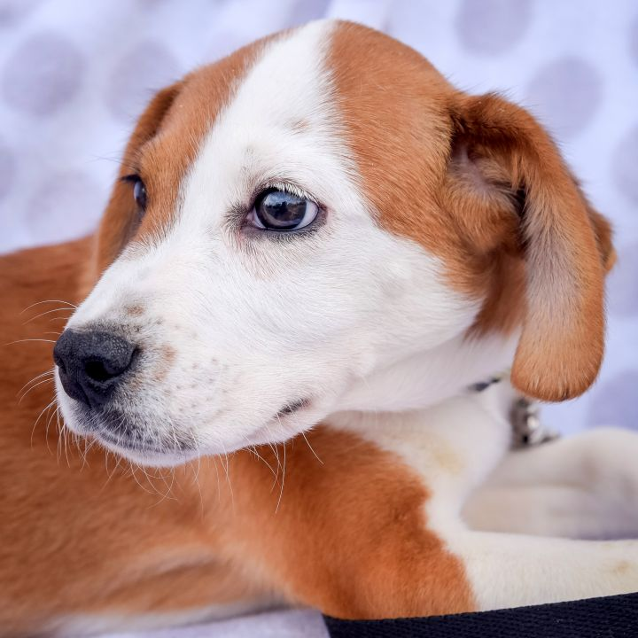 Horatio-4/24/21, an adopted Hound Mix in Lambertville, NJ_image-4