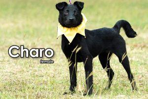 Charo Mountain Dog Dog