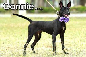 Connie Mountain Dog Dog