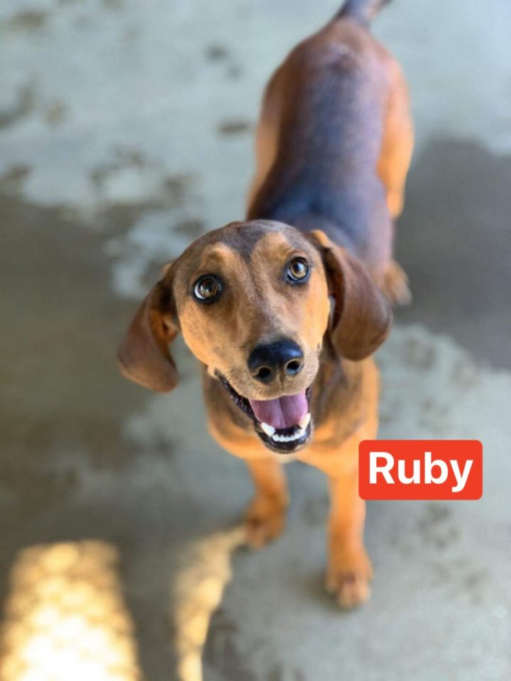 Ruby, an adoptable Labrador Retriever & Foxhound Mix in Hatfield, PA_image-1
