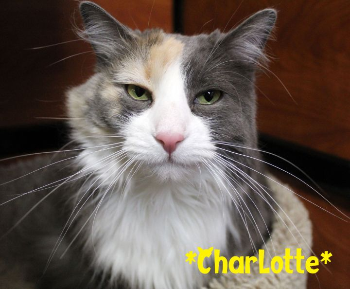 Charlotte, an adoptable Domestic Long Hair in Centerville, UT_image-2