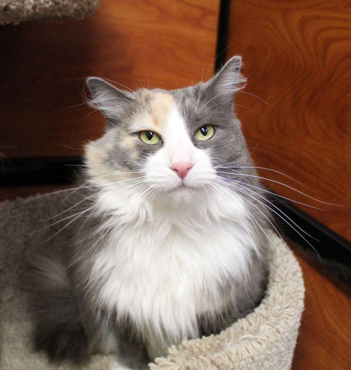 Charlotte, an adoptable Domestic Long Hair in Centerville, UT_image-3