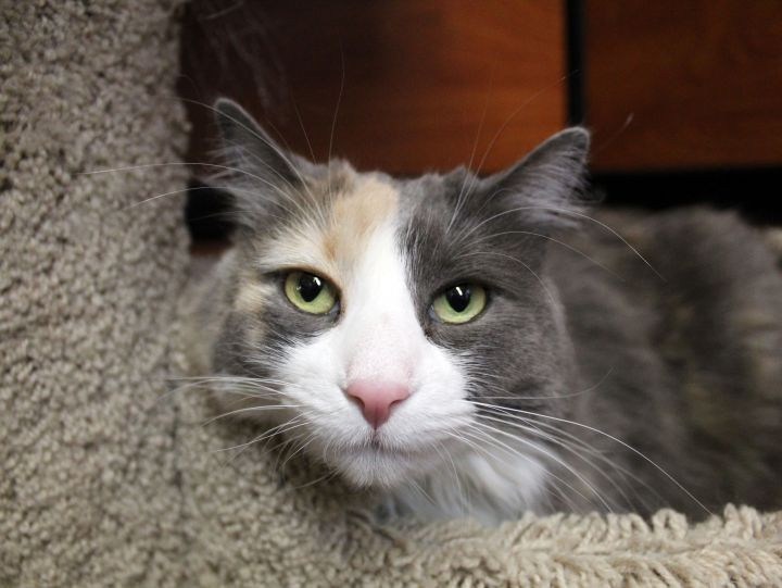 Charlotte, an adoptable Domestic Long Hair in Centerville, UT_image-4
