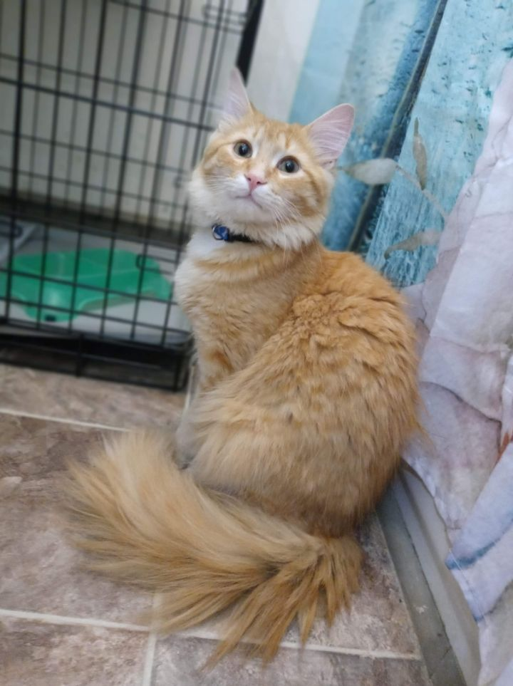Waffles, an adoptable Domestic Long Hair in Louisville, KY_image-1