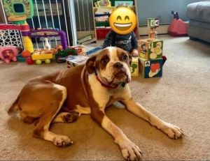 You can fill out an adoption application online on our official websiteDori is a 3 year old Boxer