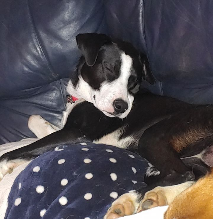 Toby, an adoptable Border Collie Mix in Rochester, NY_image-3