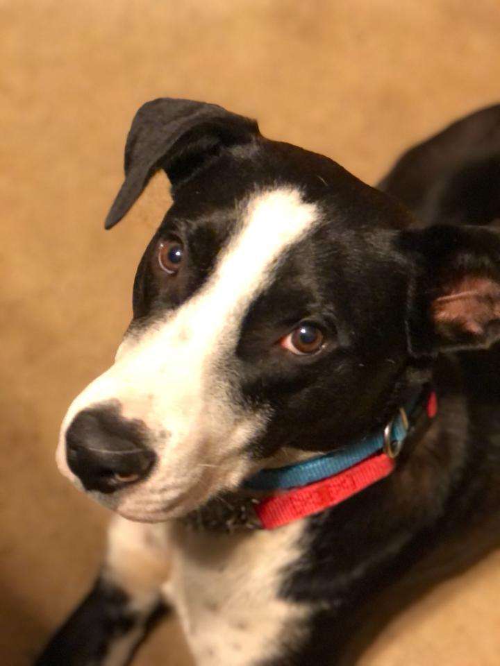 Toby, an adoptable Border Collie Mix in Rochester, NY_image-1