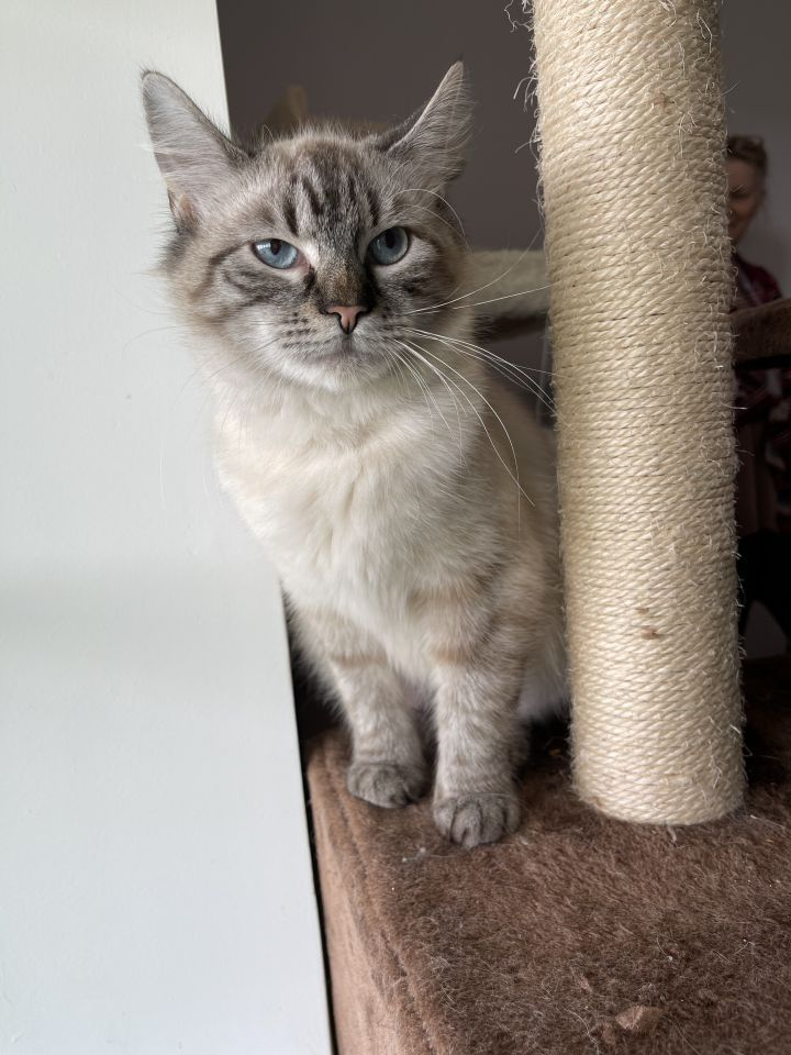 Jewel, an adopted Siamese & Domestic Short Hair Mix in Troy, VA_image-2
