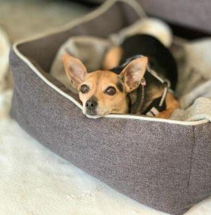 Carlotta Chihuahua Dog