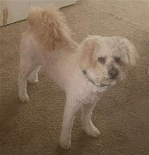 Reilly Bichon Frise Dog