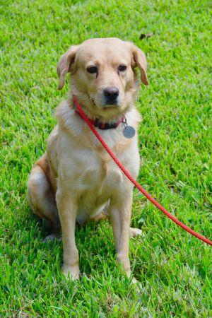 Gryff Golden Retriever Dog
