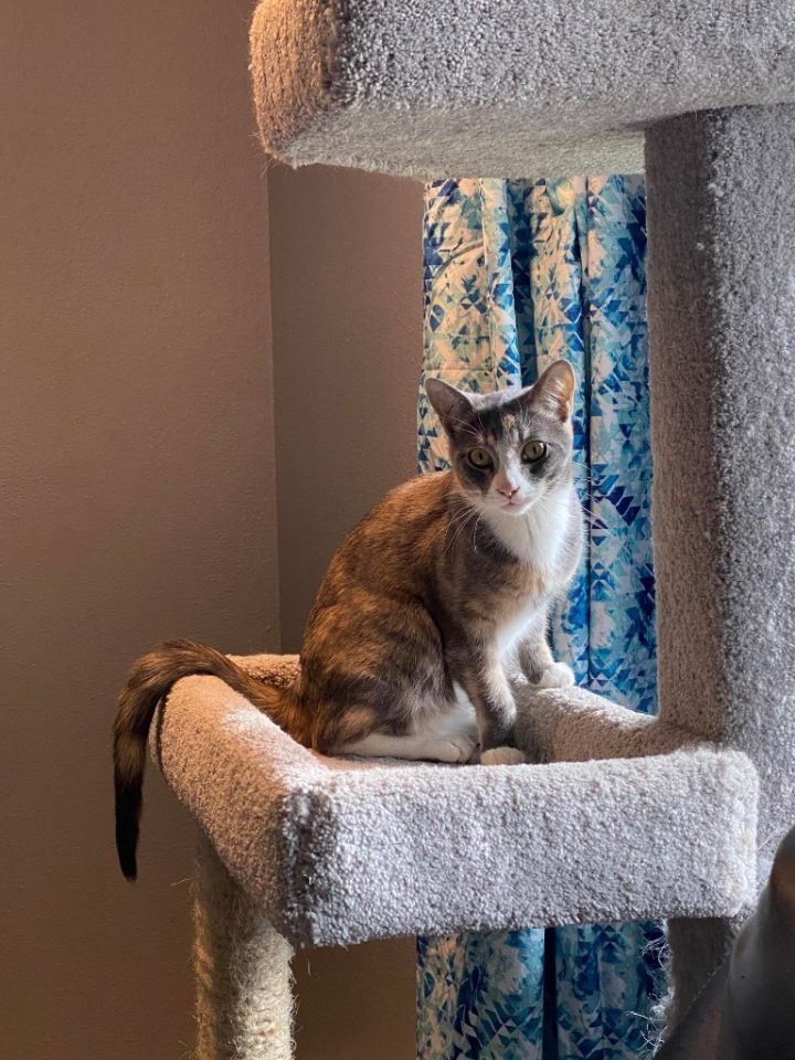 Regina, an adoptable Domestic Short Hair in Minot, ND_image-1