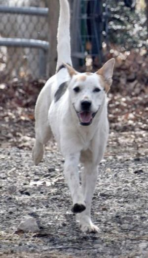 Tobias is 2 yr old male white hound mix weighing about 40 lbs He is super playful and very energet
