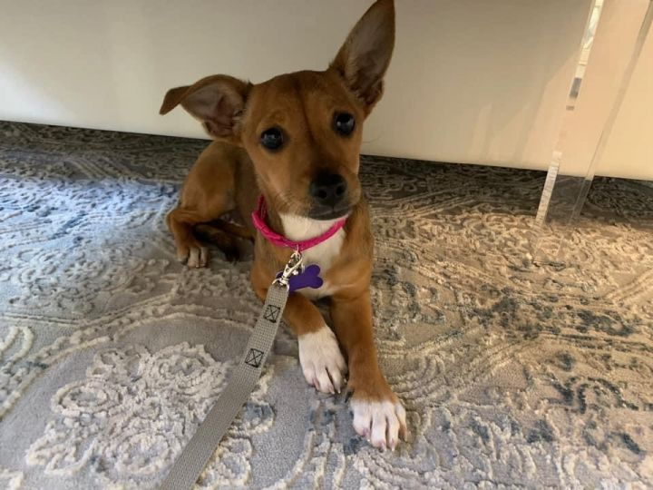 Cinnamon, an adoptable Terrier Mix in San Diego, CA_image-2