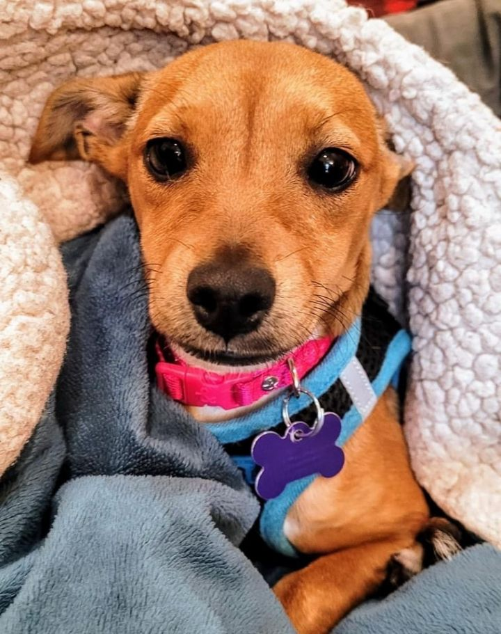 Cinnamon, an adoptable Terrier Mix in San Diego, CA_image-1