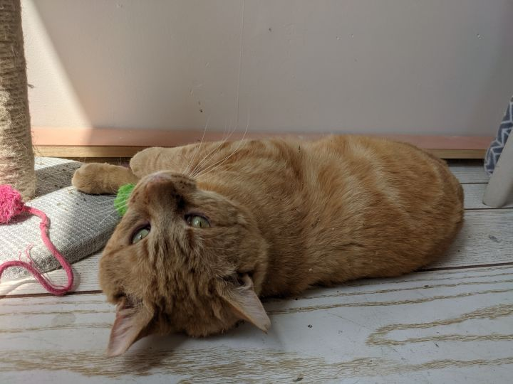 Henry, an adopted Domestic Short Hair in Brooklyn, NY_image-5