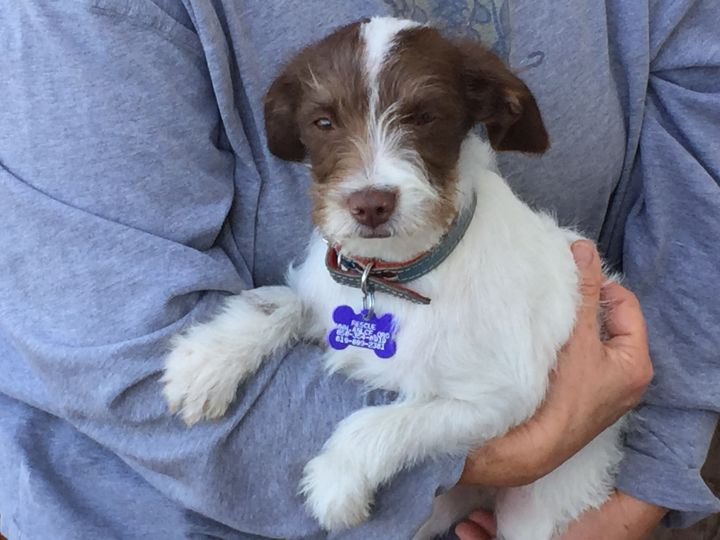 Alfie, an adopted Terrier & Chihuahua Mix in San Diego, CA_image-2