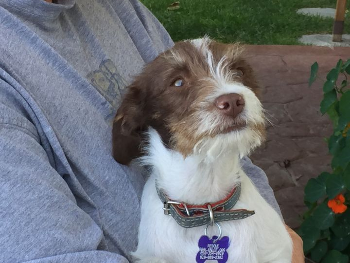 Alfie, an adopted Terrier & Chihuahua Mix in San Diego, CA_image-3