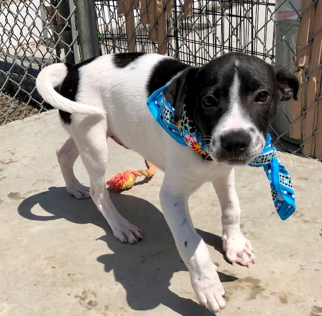 Skipper, an adoptable Labrador Retriever & Hound Mix in Long Beach, NY_image-2