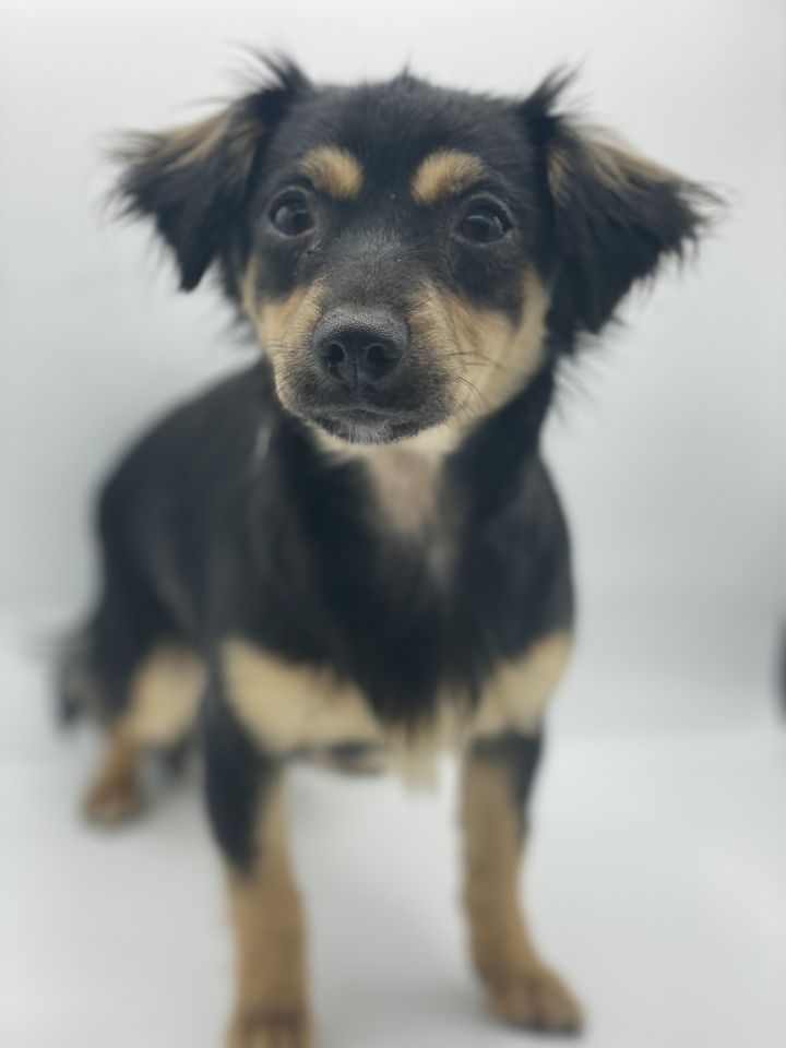 Butter Pecan, an adoptable Chihuahua & Spaniel Mix in Studio City, CA_image-1