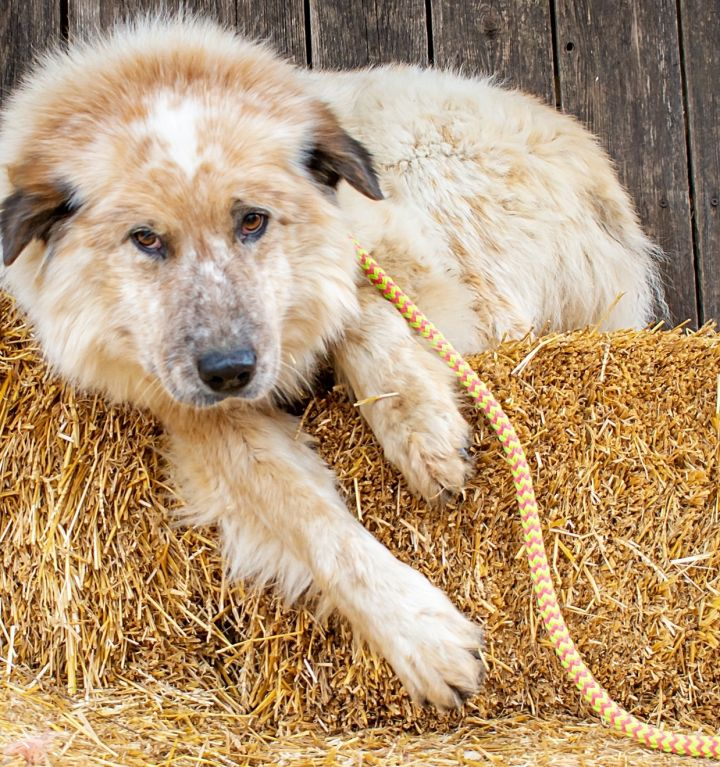 Magnus, an adopted Great Pyrenees & Australian Shepherd Mix in Omaha, NE_image-1