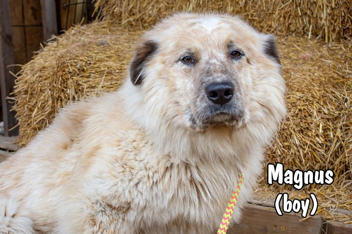 Magnus, an adopted Great Pyrenees & Australian Shepherd Mix in Omaha, NE_image-2