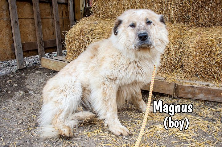Magnus, an adopted Great Pyrenees & Australian Shepherd Mix in Omaha, NE_image-3