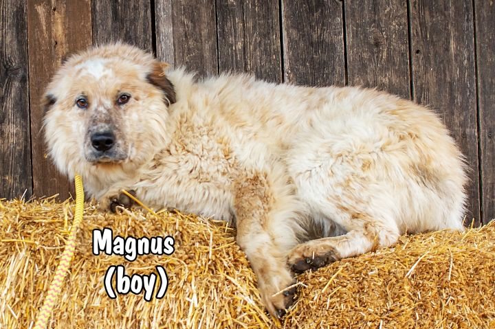 Magnus, an adopted Great Pyrenees & Australian Shepherd Mix in Omaha, NE_image-4